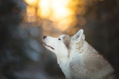 Profile portrait of beautiful, cute and happy siberian Husky dog sitting on the snow in winter forest at sunset. Profile portrait of beautiful, happy and free stock photography