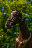 In profile portrait of beautiful dark brown akhal teke horse stock photos