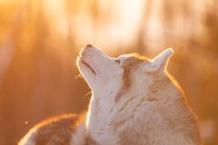 Beautiful, happy and cute Siberian Husky dog lying on the snow path in the winter forest at sunset stock image