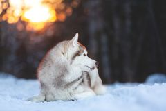 Beautiful and free Siberian Husky dog lying on the snow path in the winter forest at sunset. Profile Portrait of beautiful, happy and free Siberian Husky dog royalty free stock images