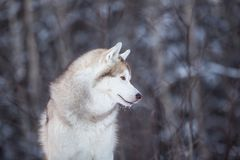Beautiful and happy siberian Husky dog standing on the snow in the fairy winter forest. Profile Portrait of beautiful, happy and free siberian Husky dog sitting royalty free stock photos