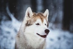 Profile Portrait of happy and free Siberian Husky dog sitting on the snow in the mysterious forest in winter. Profile Portrait of beautiful, happy and free stock photography