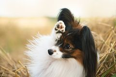 Beautiful papillon dog lying in the field in fall. Continental toy spaniel waving by its paw. Close-up portrait