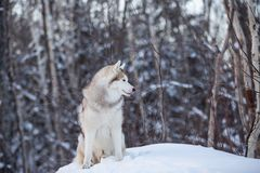 Portrait of beautiful and free siberian Husky dog standing on the hill in the fairy winter forest. Profile Portrait of beautiful, prideful and free siberian royalty free stock images