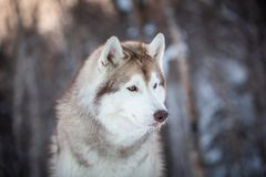Beautiful, prideful and free Siberian Husky dog sitting on the snow in the winter forest at sunset. Profile Portrait of beautiful, prideful and free Siberian royalty free stock images