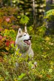 Profile Portrait of beautiful siberian Husky dog sitting in the bright fall forest at sunset after the rain. Profile Portrait of beautiful and happy beige royalty free stock photography