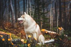 Profile Portrait of beautiful wet dog breed siberian husky sitting in the late autumn forest on rainy day.  royalty free stock images