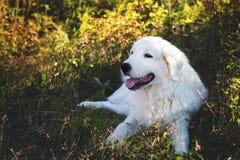 Portrait of beautiful maremmano abruzzese sheepdog. Big white fluffy maremma dog lying in the field on a sunny day. stock photo