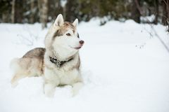 Husky dog liying on the snow in winter forest royalty free stock photo
