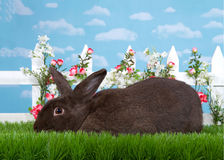 Profile portrait black bunny in flower garden. Brown black bunny laying sideways to viewers left in green grass in front of a white picket fence with small pink Royalty Free Stock Photos