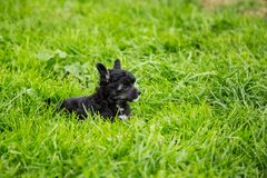 Portrait of black powder puff puppy breed chinese crested dog lying in the green grass on summer day. Profile Portrait of black powder puff puppy breed chinese stock images