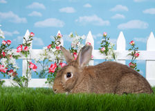 Profile portrait brown bunny in a flower garden. Brown rabbit sitting in green grass, sideways facing viewers left. White picket fence with small pink roses Stock Images