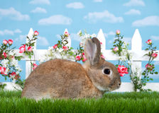 Profile portrait brown dwarf bunny in flower garden. Brown dwarf rabbit sitting in green grass, sideways facing viewers right. White picket fence with small pink Royalty Free Stock Image