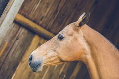 In profile portrait of brown horse. Standing in a shadow of a stable, close up image of head, wooden planks in background, day at a farm royalty free stock photography