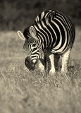 Profile portrait of a burchells zebra in monochrom Stock Photo