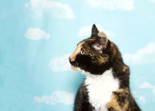 Profile portrait of a calico cat against sky backdrop. Profile portrait of one young calico cat looking to viewers left. Blue background sky with clouds. Copy royalty free stock images
