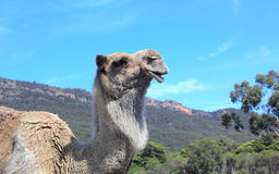 Profile portrait of camel Stock Photo