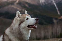 Profile Portrait of cute beige and white Siberian Husky dog sitting on mountains background. Profile Portrait of cute beige and white Sibe.rian Husky dog sitting stock photography