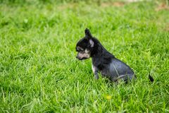 Profile Portrait of black hairless puppy breed chinese crested dog sitting in the green grass on summer day. Profile Portrait of cute black hairless puppy breed royalty free stock photos