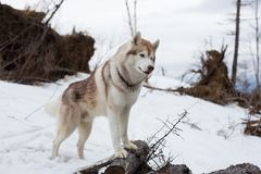 Profile Portrait of cute dog breed Siberian Husky standing in the forest.  royalty free stock images