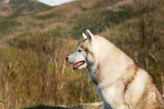 Profile Portrait of cute and fluffy beige and white Siberian Husky dog sitting in the forest on mountains background.  stock photo