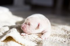 Profile portrait of cute Four days old golden retriever puppy is lying on the blanket. White Newborn pup is sleeping stock image