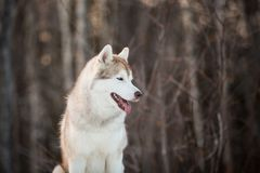 Profile portrait of free and happy siberian Husky dog sitting in the winter forest at sunset. Profile portrait of cute, free and happy siberian Husky dog sitting royalty free stock photo