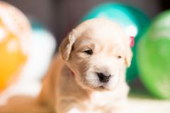 Profile portrait of cute golden retriever puppy with red ribbon lying on the blanket on baloons background royalty free stock photography