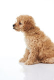 Profile portrait of cute poodle puppy Royalty Free Stock Images