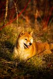 Profile portrait of Cute red shiba inu dog lying on the grass in the forest at golden sunset. Profile portrait of cute and happy shiba inu dog lying on the grass stock photos