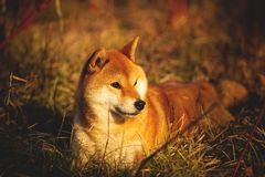 Profile portrait of Cute red shiba inu dog lying on the grass in the forest at golden sunset. Profile portraiit of cute and happy shiba inu dog lying on the stock photography