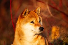 Profile portrait of cute red shiba inu dog sitting on the grass in the forest at golden sunset. Profile portraiit of cute and happy shiba inu dog sitting on the royalty free stock photo