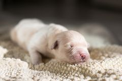 Profile Portrait of 4 days old sweet golden retriever puppy is lying on the blanket. White cute Newborn pup is sleeping. Profile Portrait of Four days old sweet royalty free stock photo
