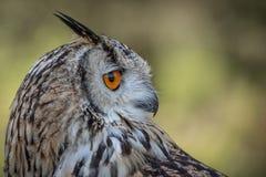 Profile portrait of a eagle owl Royalty Free Stock Photos