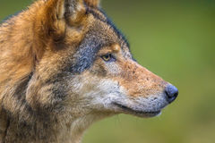 Profile portrait of European Wolf royalty free stock photos