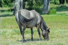 Profile portrait of feeding tarpan horse at green bushes background Stock Photos