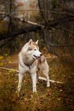Profile Portrait of free and wise Siberian Husky dog standing in the bright fall forest. Profile Portrait of gorgeous Siberian Husky dog standing in the bright Royalty Free Stock Photography