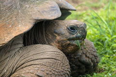 Profile Portrait of Galapagos Tortoise, Chelonoidis nigra, Eating Grass royalty free stock image