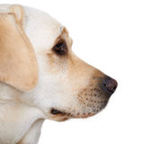 Profile portrait of a golden labrador Royalty Free Stock Photography
