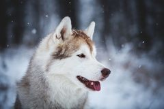 Profile Portrait of gorgeous and free Siberian Husky dog sitting on the snow in the mysterious forest in winter. Profile Portrait of gorgeous, happy and free stock photo