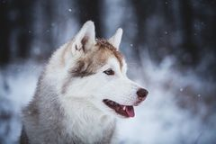 Profile Portrait of gorgeous and free Siberian Husky dog sitting on the snow in the mysterious forest in winter. Profile Portrait of gorgeous, happy and free stock photography