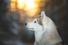 Profile portrait of gorgeous and happy siberian Husky dog sitting on the snow in the fairy winter forest at sunset. Profile portrait of gorgeous, beautiful and stock photo