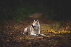Profile Portrait of gorgeous and serious beige siberian Husky dog with squinted eyes lying on the path in the dark autumn. Mysterious forest on the falling royalty free stock image