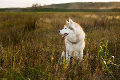 Profile portrait of gorgeous siberian husky dog with brown eyes sitting in the field at golden sunset in fall. Profile of gorgeous beige and white siberian husky stock photo