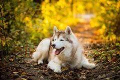 Profile Portrait of gorgeous siberian Husky dog lying in the bright fall forest at sunset. Profile Portrait of gorgeous and happy beige siberian Husky dog lying stock images