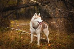 Profile Portrait of free and wise Siberian Husky dog standing in the bright fall forest. Profile Portrait of gorgeous Siberian Husky dog standing in the bright Royalty Free Stock Image