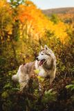 Profile Portrait of gorgeous Siberian Husky dog standing in the bright mysterious fall forest. Profile Portrait of gorgeous Siberian Husky dog with tonque royalty free stock photos
