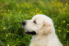 Profile portrait of gorgeous white dog breed golden retriever in the green grass and flowers background. Profile portrait of beautiful white dog breed golden stock image