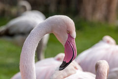 Profile portrait Greater flamingo Royalty Free Stock Image