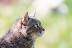 Profile portrait of grey cat snout, with green eyes, outdoors Stock Image